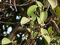 Ficus microcarpa (3297817852).jpg