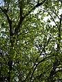 Ficus religiosa - Howrah 2011-03-19 1867.JPG