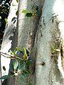 Ficus thonningii, twyge, loof en vrugte, c, Pretoria.jpg