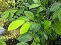 Ficus tinctoria 56.jpg