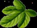 Fig leaf.png
