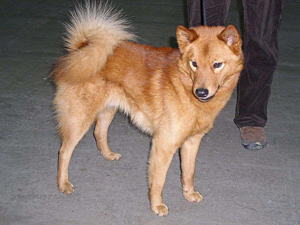 Finnish Spitz Dog Breed Info