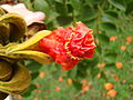 Fire-tree flower oppening, Tulipa africana, bisnagueira (Spathodea campanulata). Ceret park São Paulo Brasil. African native.jpg