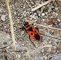 Fire Bug, Pyrrhocoris apterus. Pyrrhocoridae. (25019000467).jpg