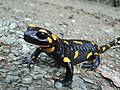 Fire salamanders.jpg