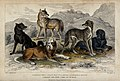 Five different specimen of dogs, domesticated and wild, are Wellcome V0021270.jpg