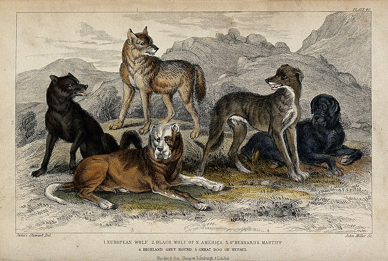 File:Five different specimen of dogs, domesticated and wild, are Wellcome V0021270.jpg