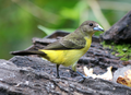 Flame-rumped-tanager.png