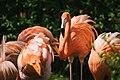 Flamingo (14583038192).jpg