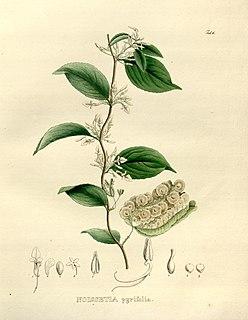 <i>Anchietea</i> Genus of flowering plants in Eudicot family Violaceae