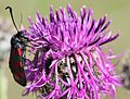 Flickr - don macauley - Burnet Moth on Knapweed.jpg