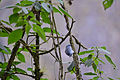 Flickr - ggallice - Blue-gray tanager.jpg
