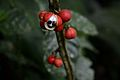 Flickr - ggallice - Guarana.jpg