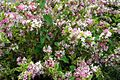 Flowerbushvine - West Virginia - ForestWander.jpg