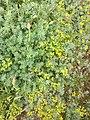Flowers in Ventotene (Italy).jpg