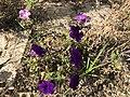 Flowers of Petunia 20190813.jpg