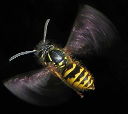 Flying Vespula vulgaris