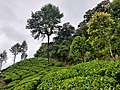 Forest edge - Tea and Rainforest.jpg