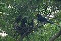 Formosan Blue Magpie藍鵲育雛 - panoramio.jpg