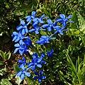 Frühlings Enzian Gentiana verna 01.JPG