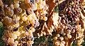 Frascati Cannellino Grape.jpg