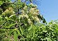 Fraxinus ornus kz03.jpg