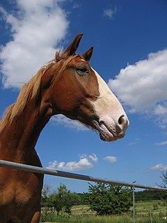 Frederiksborger Breed of horse
