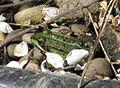 Frosch im Teich.jpg