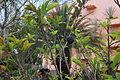 Fruit Annona squamosa.JPG