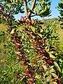 Fruits de mata per la Garganteta, Senija.jpg