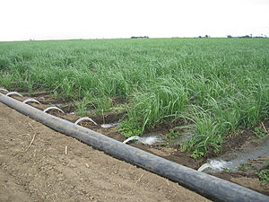 Surface irrigation - Furrow Irrigation of sugar cane in Australia, 2006