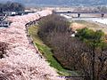 Fussa Sakura.jpg