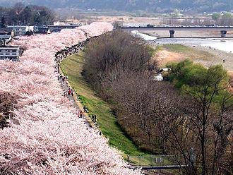 Fussa, Tokyo - Sakura along the Tama River