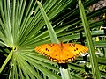 GWH Fritillary on Palm.jpg
