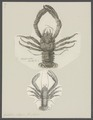 Galathea strigosa - - Print - Iconographia Zoologica - Special Collections University of Amsterdam - UBAINV0274 096 14 0003.tif