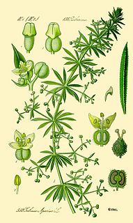 <i>Galium aparine</i> species of plant