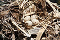 Gallinula galeata eggs.jpg