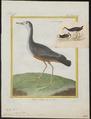 Gallinula phoenicura - 1700-1880 - Print - Iconographia Zoologica - Special Collections University of Amsterdam - UBA01 IZ17500215.tif