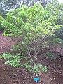 Gardenia brighamii - Koko Crater Botanical Garden - IMG 2258.JPG