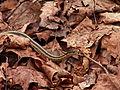 Garter Snakes, Kane Woods, 2015-04-08, 02.jpg