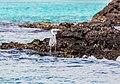 Garza azulada (Ardea herodias), Las Bachas, isla Santa Cruz, islas Galápagos, Ecuador, 2015-07-23, DD 10.jpg