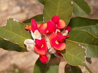 <i>Gastrolobium leakeanum</i> species of plant