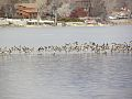 Geese in Lake Loveland (11655466504).jpg