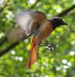 фото горихвостка обыкновенная