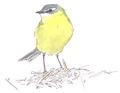 Gele kwikstaart Motacilla flava Jos Zwarts 7.tif