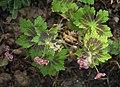 Geranium phaeum Samobor C.jpg