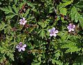 Geranium robertianum in Mount Ibuki s2.JPG