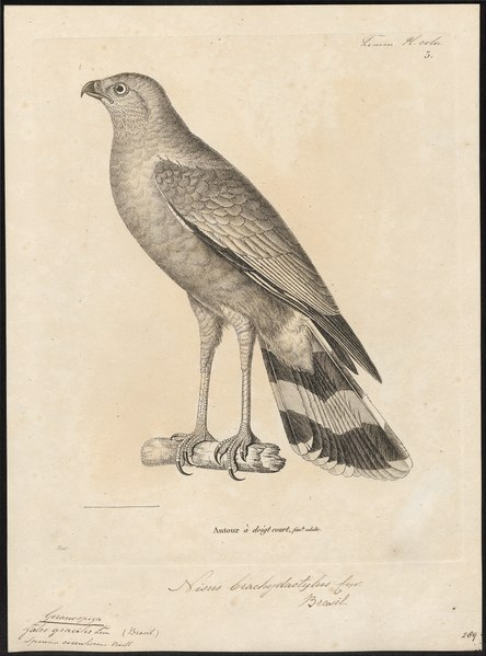 File:Geranospiza gracilis - 1700-1880 - Print - Iconographia Zoologica - Special Collections University of Amsterdam - UBA01 IZ18300055.tif