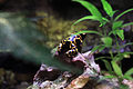 Gfp-golden-arrow-poison-dart-frog.jpg