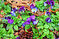 Gfp-group-of-violets.jpg